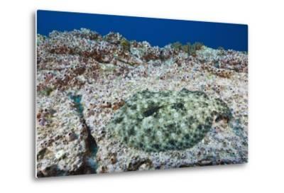 Pacific Leopard Flounder Camouflaged (Bothus Leopardinus)-Reinhard Dirscherl-Metal Print