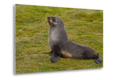 South Georgia. Salisbury Plain. Antarctic Fur Seal-Inger Hogstrom-Metal Print
