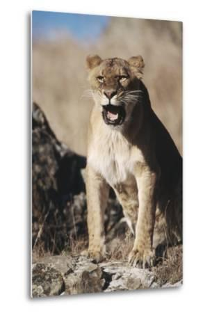 African Lion Sitting and Mouth Open-Stuart Westmorland-Metal Print