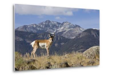 Pronghorn Antelope Buck, Electric Peak-Ken Archer-Metal Print