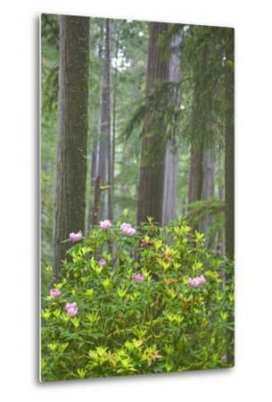 Redwood Trees and Rhododendrons in Forest-Terry Eggers-Metal Print