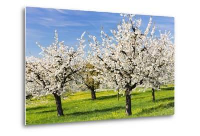 Cherry Orchard in Bloom-Frank Lukasseck-Metal Print