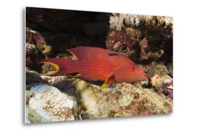 Lyretail Grouper (Variola Louti)-Reinhard Dirscherl-Metal Print