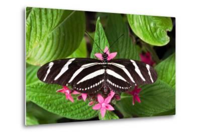 Zebra Heliconia Zebra Longwing, Heliconius Charitonius-Susan Degginger-Metal Print