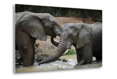 South Africa - Elephants, November 29, 2009 in Zuurberg--Metal Print