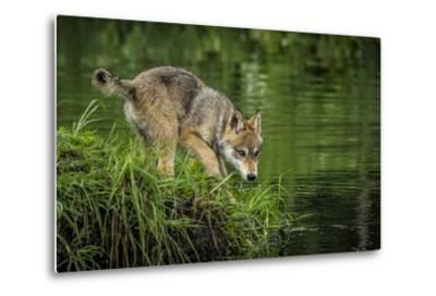 Minnesota, Sandstone, Minnesota Wildlife Connection. Grey Wolf Pup-Rona Schwarz-Metal Print