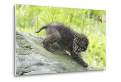 Minnesota, Sandstone, Bobcat Kitten on Top of Log in Spring Grasses-Rona Schwarz-Metal Print