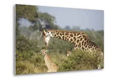 Giraffe Male and Calf-Richard Du Toit-Metal Print