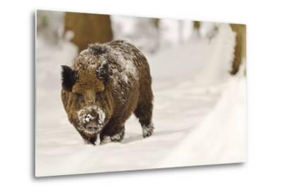 Wild Boar (Sus Scrofa) in the Snow, Bayerischer Wald National Park, Germania, Germany-Gabriele Bano-Metal Print