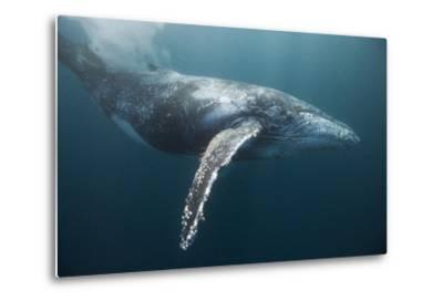 Humpback Whale (Megaptera Novaeangliae)-Reinhard Dirscherl-Metal Print