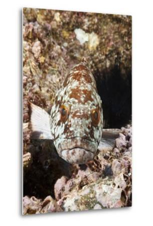 Starry Grouper (Epinephelus Labriformis)-Reinhard Dirscherl-Metal Print