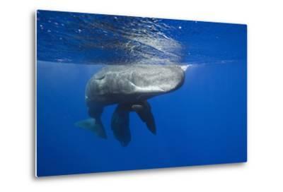 Sperm Whales (Physeter Macrocephalus)-Reinhard Dirscherl-Metal Print
