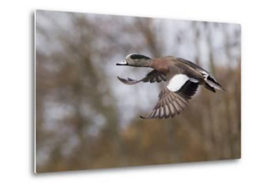 American Widgeon Duck-Ken Archer-Metal Print