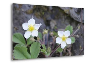 Canada, B.C, Vancouver Island. Coastal Strawberry, Fragaria Chiloensis-Kevin Oke-Metal Print