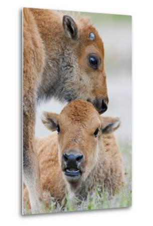 Wyoming, Yellowstone National Park, a Bison Calf Nuzzles Another to Play-Elizabeth Boehm-Metal Print