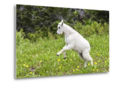 Mountain Goat Kid Kicks Up His Heels in Glacier National Park, Montana, USA-Chuck Haney-Metal Print