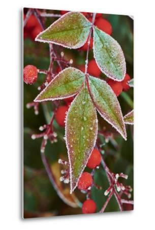 Frost; Leaves-Gary Carter-Metal Print