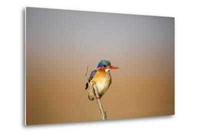 Malachite Kingfisher-Richard Du Toit-Metal Print