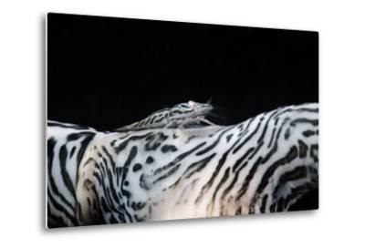 Zebra Anemonie Shrimp-Bernard Radvaner-Metal Print