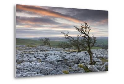 Twisted Hawthorn Trees Growing Through the Limestone Pavement on Twistleton Scar, Yorkshire-Adam Burton-Metal Print