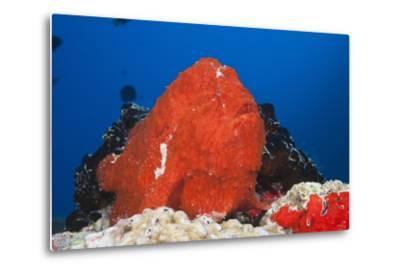 Red Giant Frogfish (Antennarius Commersonii)-Reinhard Dirscherl-Metal Print