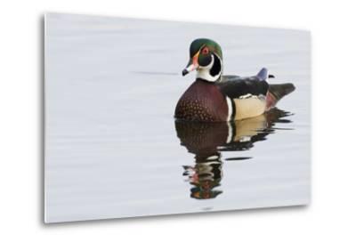 Wood Duck-Ken Archer-Metal Print