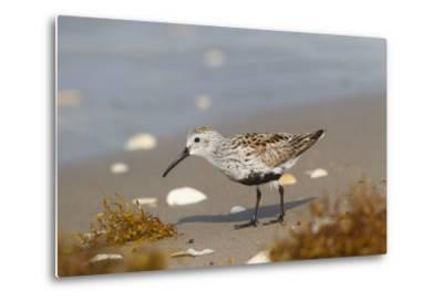 Cameron County, Texas. Dunlin Feeding on Beach During Spring Migration-Larry Ditto-Metal Print