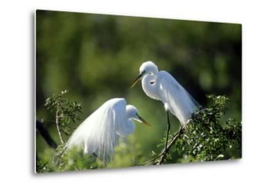 Florida, Venice, Audubon Sanctuary, Common Egret in Breeding Plumage-Bernard Friel-Metal Print
