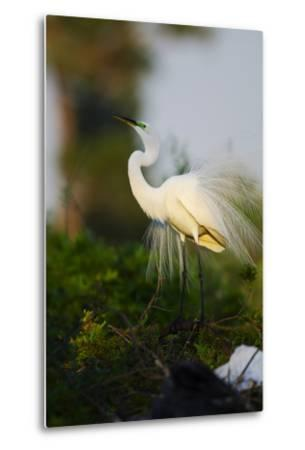 Florida, Venice, Audubon Sanctuary, Common Egret Stretch Performance-Bernard Friel-Metal Print