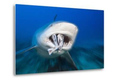 Bull Shark Feeding (Carcharhinus Leucas), Beqa Lagoon, Viti Levu, Fiji-Reinhard Dirscherl-Metal Print