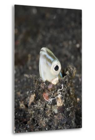 Snake or Hairtail Blenny Head (Xiphasia Setifer), Lembeh Strait, North Sulawesi, Indonesia-Reinhard Dirscherl-Metal Print