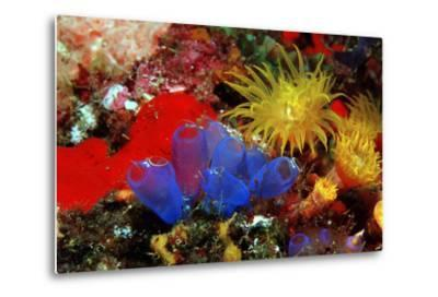 Blue Sea Squirts or Tunicates (Dendrophillia) and Yellow Cave Coral (Tubastrea)-Reinhard Dirscherl-Metal Print