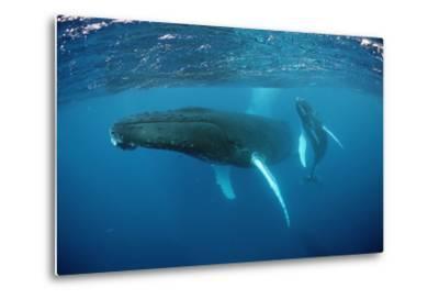 Humpback Whale-Reinhard Dirscherl-Metal Print