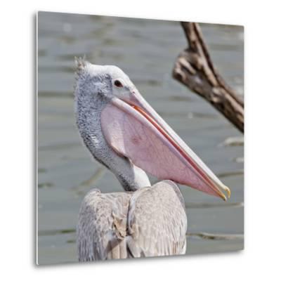 Closeup Spotted-Billed Pelecan Bird-Art9858-Metal Print