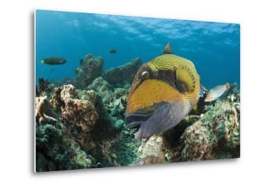 Moustache Triggerfish-Reinhard Dirscherl-Metal Print
