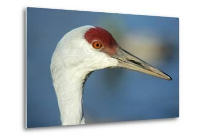 Sandhill Crane, Grus Canadensis Close Up of Head-Richard Wright-Metal Print