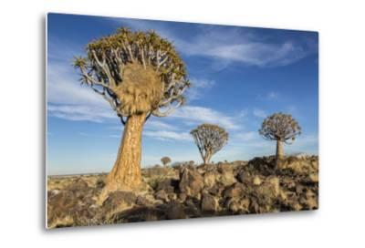 Africa, Namibia. Quiver Trees and Boulders-Jaynes Gallery-Metal Print