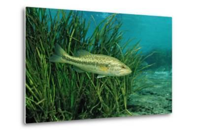 Largemouth Bass, Micropterus Salmoides, Usa, Florida, FL-Reinhard Dirscherl-Metal Print
