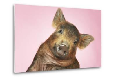 Brown Pig Against Pink Background with Head Cocked, Close-Up--Metal Print
