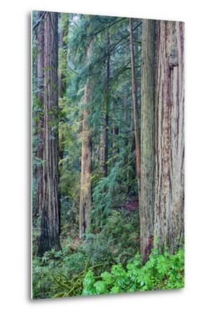 Redwood Trees in Morning Fog-Terry Eggers-Metal Print