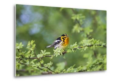 South Padre Island, Texas. Blackburnian Warbler Feeding-Larry Ditto-Metal Print
