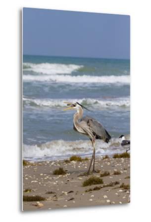Cameron County, Texas. Great Blue Heron, Ardea Herodias, Feeding-Larry Ditto-Metal Print