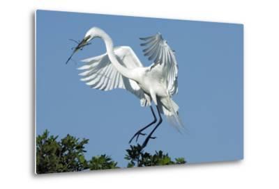 Florida, Venice, Audubon Sanctuary, Common Egret with Nesting Material-Bernard Friel-Metal Print
