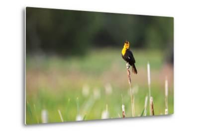 Yellow Headed Blackbird in the National Bison Range, Montana-James White-Metal Print
