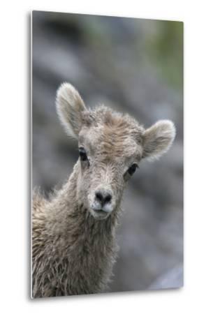 Rocky Mountain Bighorn Sheep Lamb-Ken Archer-Metal Print