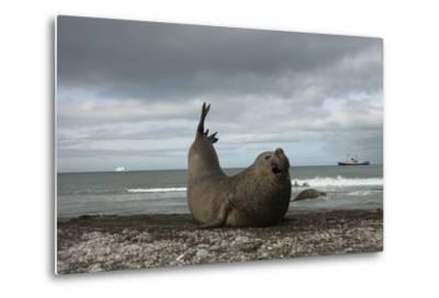 Southern Elephant Seal-Joe McDonald-Metal Print
