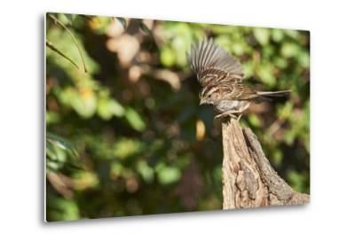 White-Throated Sparrow-Gary Carter-Metal Print