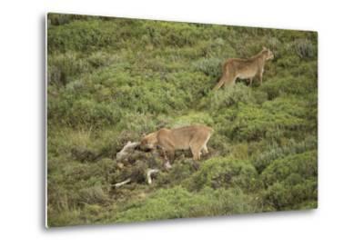 Wild Puma in Chile-Joe McDonald-Metal Print