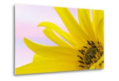 Washington. Detail of Sunflower Blossom-Jaynes Gallery-Metal Print