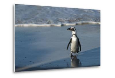 African Penguin Returning to Colony. Western Cape, South Africa-Pete Oxford-Metal Print